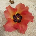 砂浜に南国の花IMG_0738