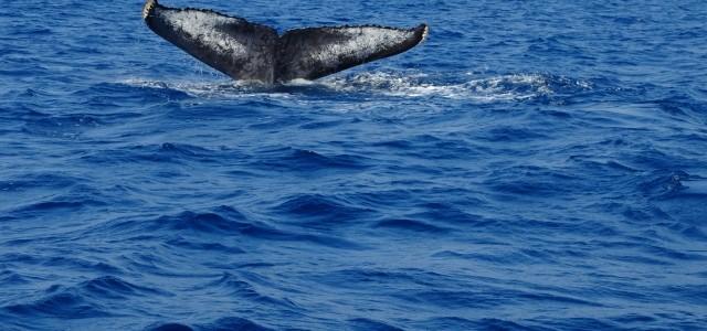ザトウクジラしっぽ1c8298ff2afae49211d1199ac83b0ea1_s