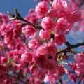 八重岳寒緋桜IMG_3442