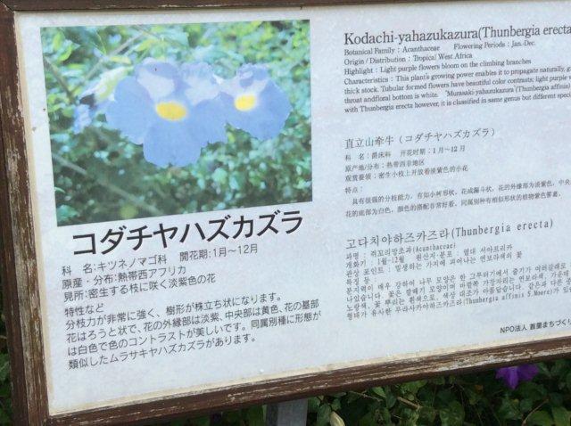 ツンベルギアの説明看板沖縄IMG_2418