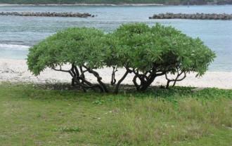 モンパノキ阿嘉島前浜IMG_5539