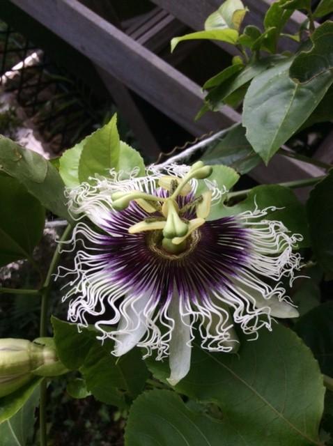 ジャンボパッションフルーツの花IMG_1104