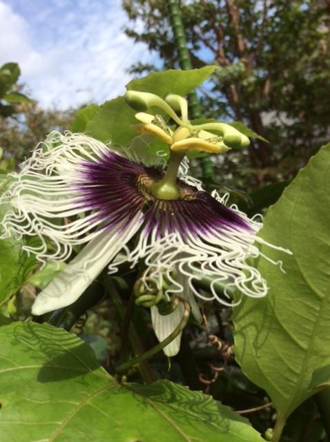 ジャンボパッションフルーツの花IMG_1106