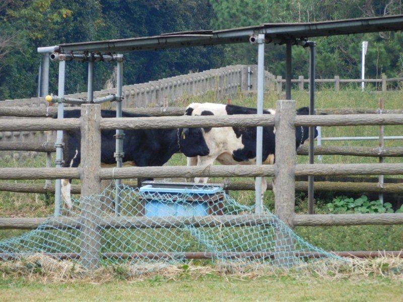 伊豆大島 牧場の牛
