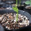 四角豆の栽培方法 その1 苗づくり(種まきから発芽まで)