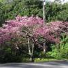 寒緋桜と親戚?河津桜に沖縄の桜の面影を探してみると。。。