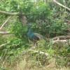 八重山の島を孔雀が歩き回る謎 黒島編